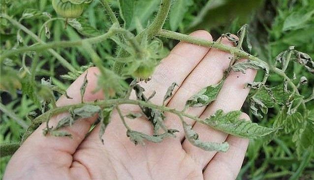 Если листья на помидорах скручиваются
