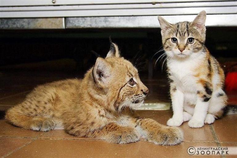 рысь Линда и кошка Дуся