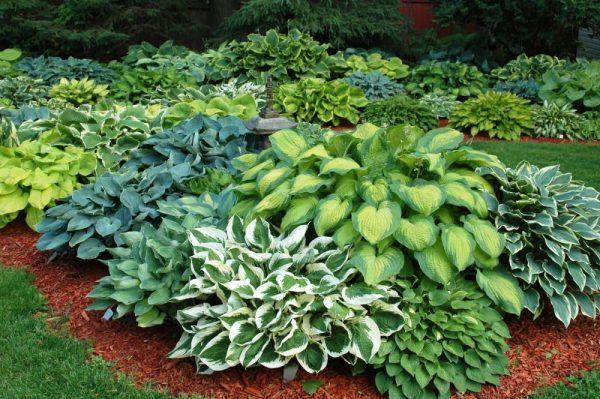 Подготовка хосты к зимовке: как делить и пересаживать растение осенью?