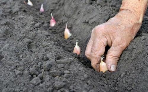 Как правильно посадить чеснок.