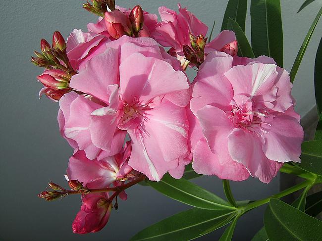 Олеандр - ароматный источник благополучия