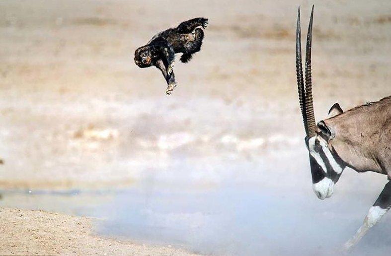 Антилопа научила медоеда летать