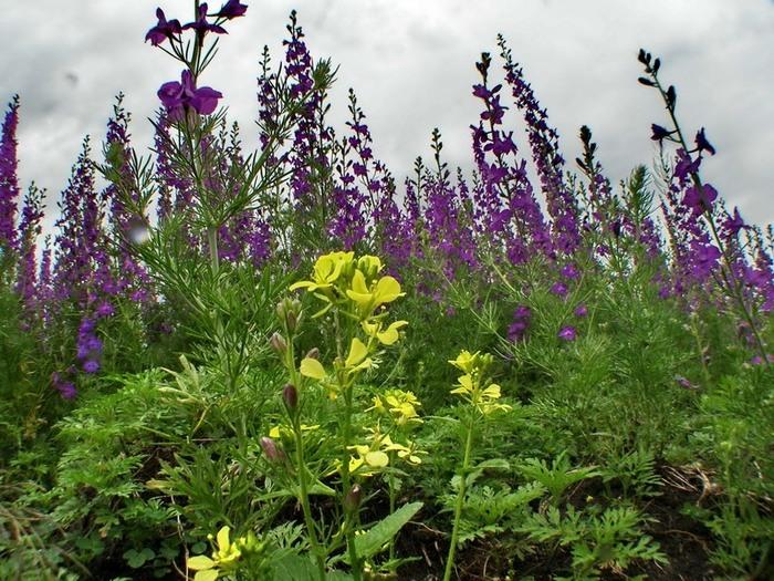 Луговые цветы сибирь