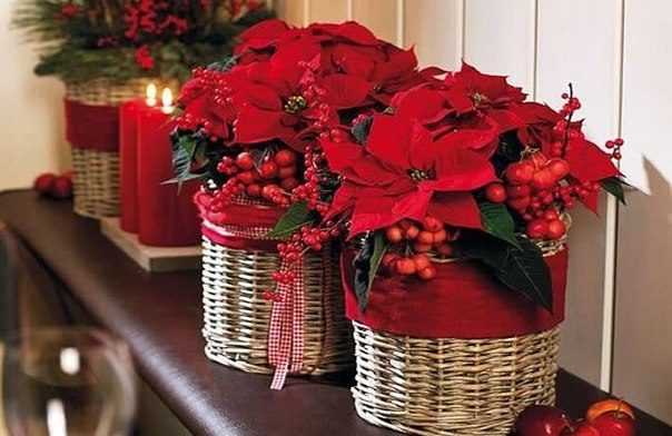 5 самых популярных Рождественских растений