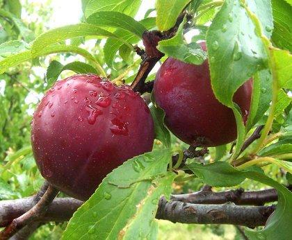 Плоды сливы домашней лечебные свойства