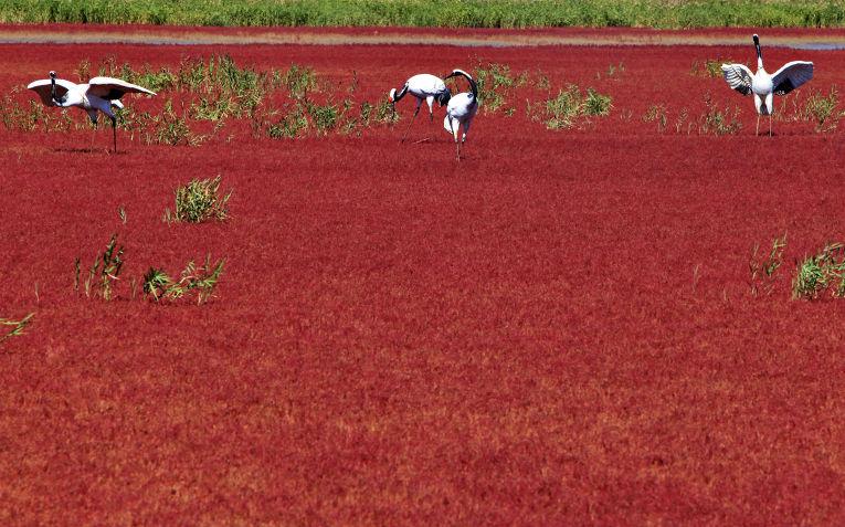 Журавли на красном поле рядом с городом Паньцзин, Китай
