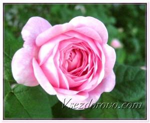 Делаем сами гидролат розы