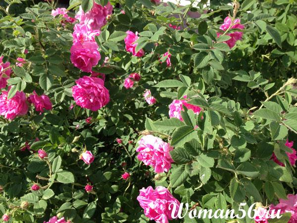 Шиповник - Дикая роза
