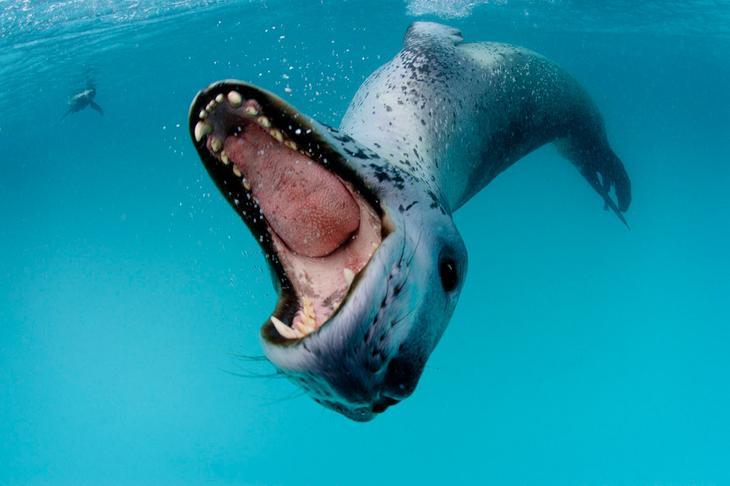 Морской леопард