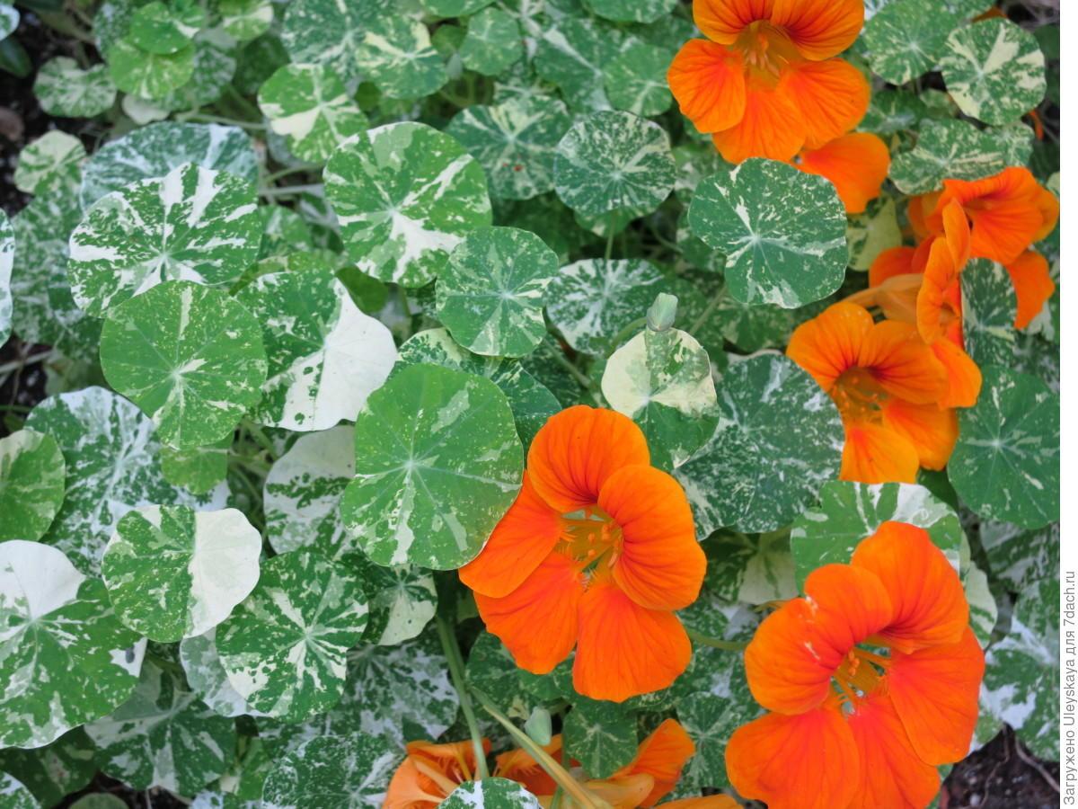 Пестролистные цветочные растения – «изюминки» дач