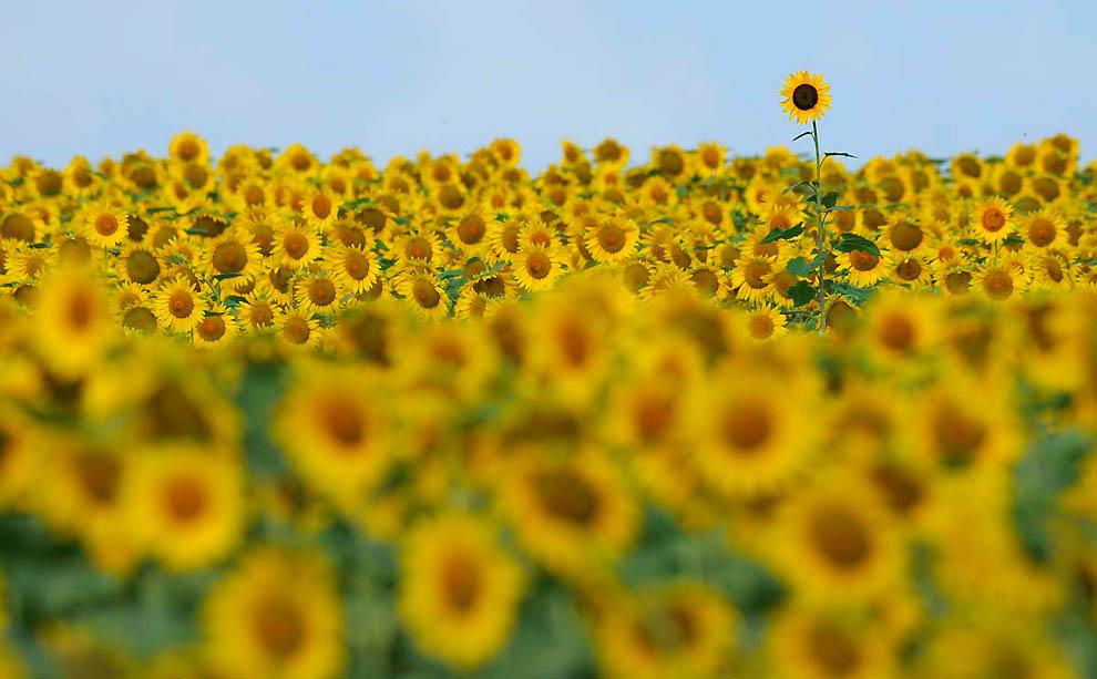 724 В кадре солнечное золото подсолнухов