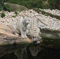 Белые тигры 3