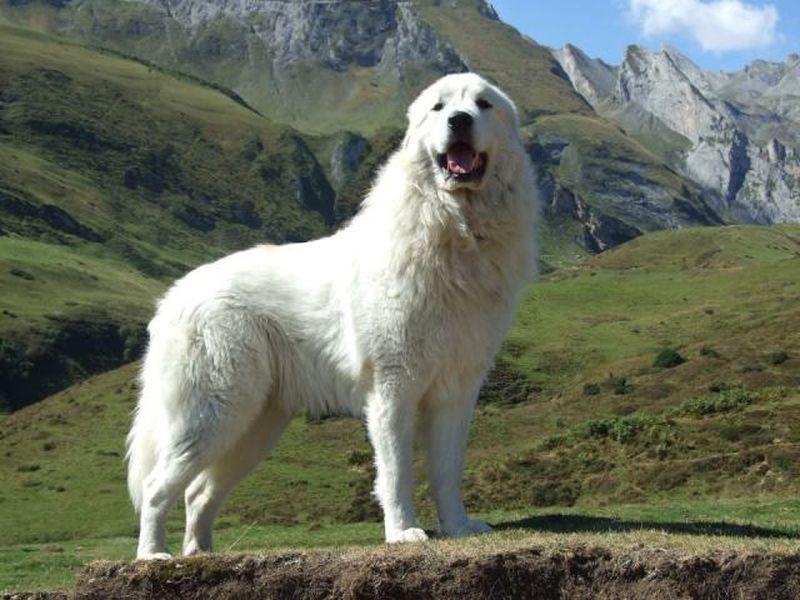 Пиренейская горная собака. Энциклопедия. Материал для реферата