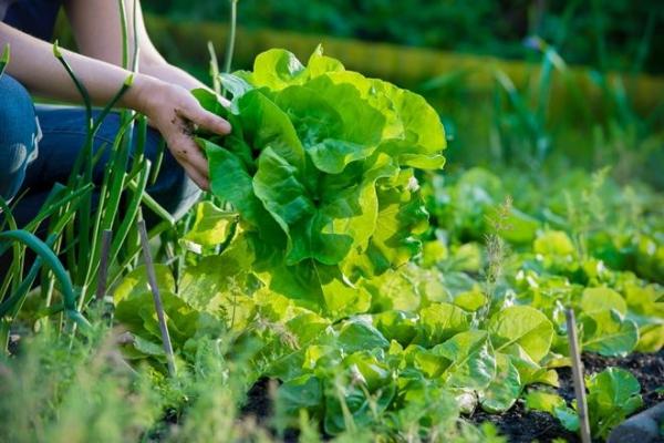 Зелень, которую можно посадить в сентябре