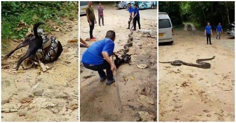 Жители тайской деревни отбили пса у душившего его питона