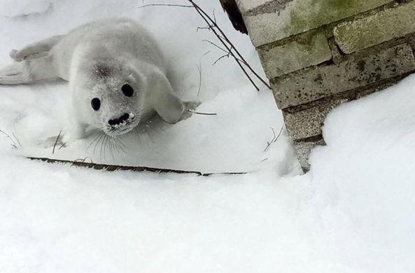 Тюленя Гоглика выпустили в Финский залив после реабилитации