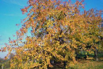 Обязательная процедура для всех плодовых деревьев осенью.