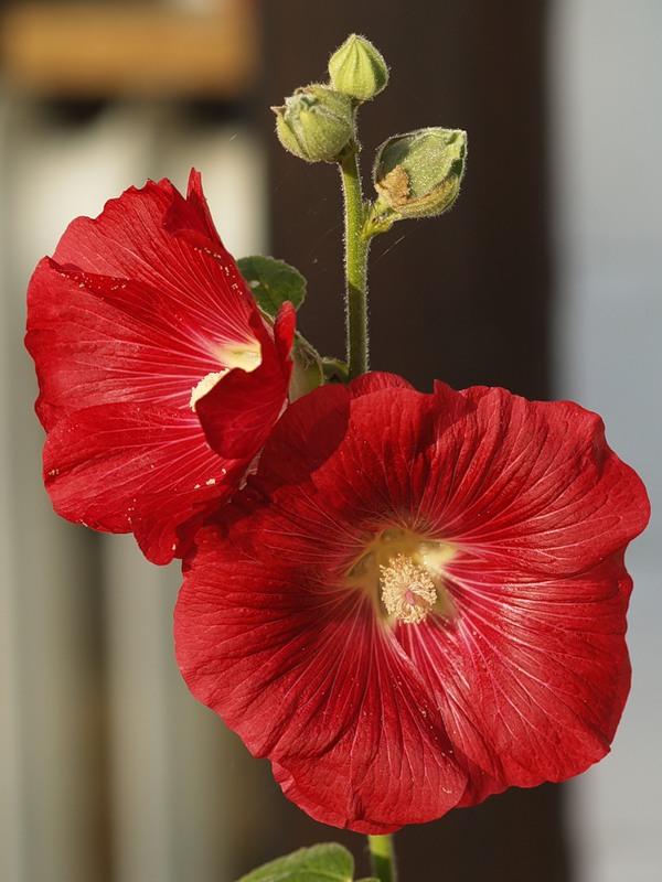 Фото квітки мальви
