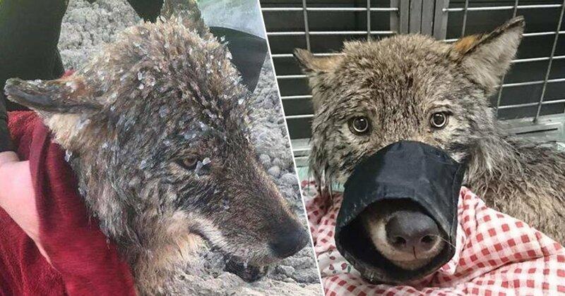 Мужчины спасли из ледяной реки собаку, которая оказалась волком