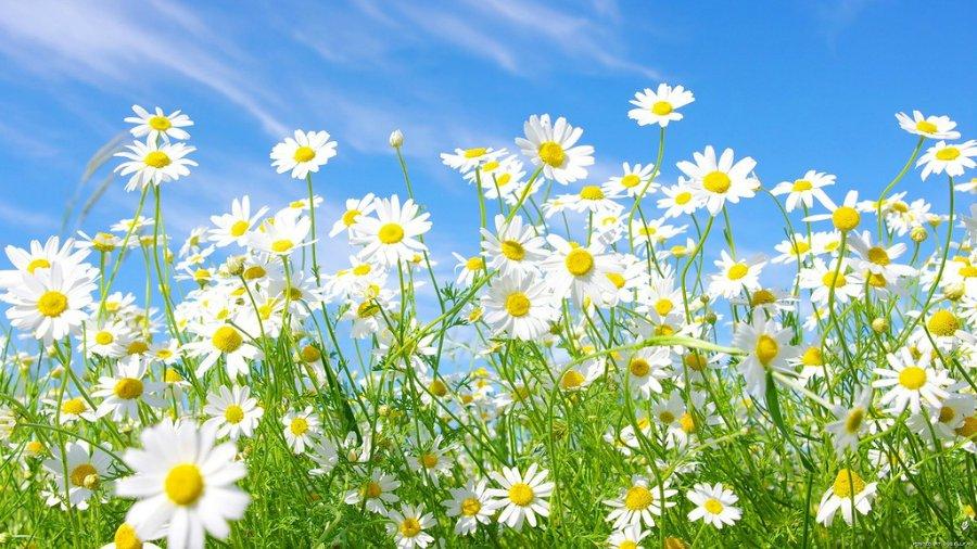 Цветы луговые фото