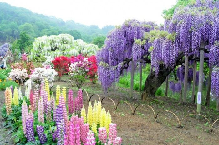 Тоннель глициний сад цветов кавати