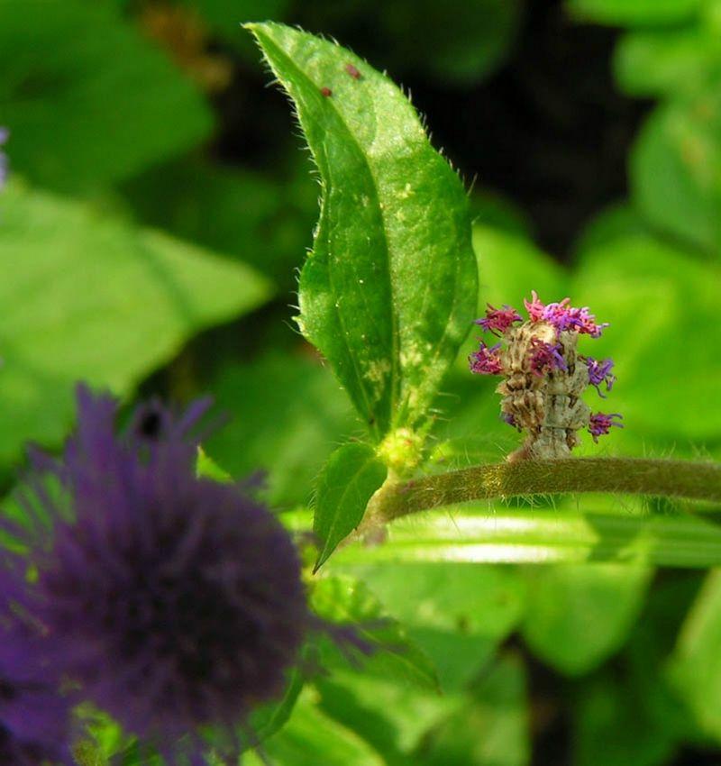 caterpillar04 Чудеса мимикрии: Гусеница цветок