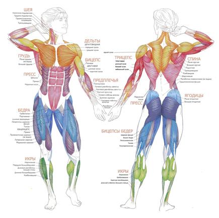 мышцы анатомия (435x433, 146Kb)