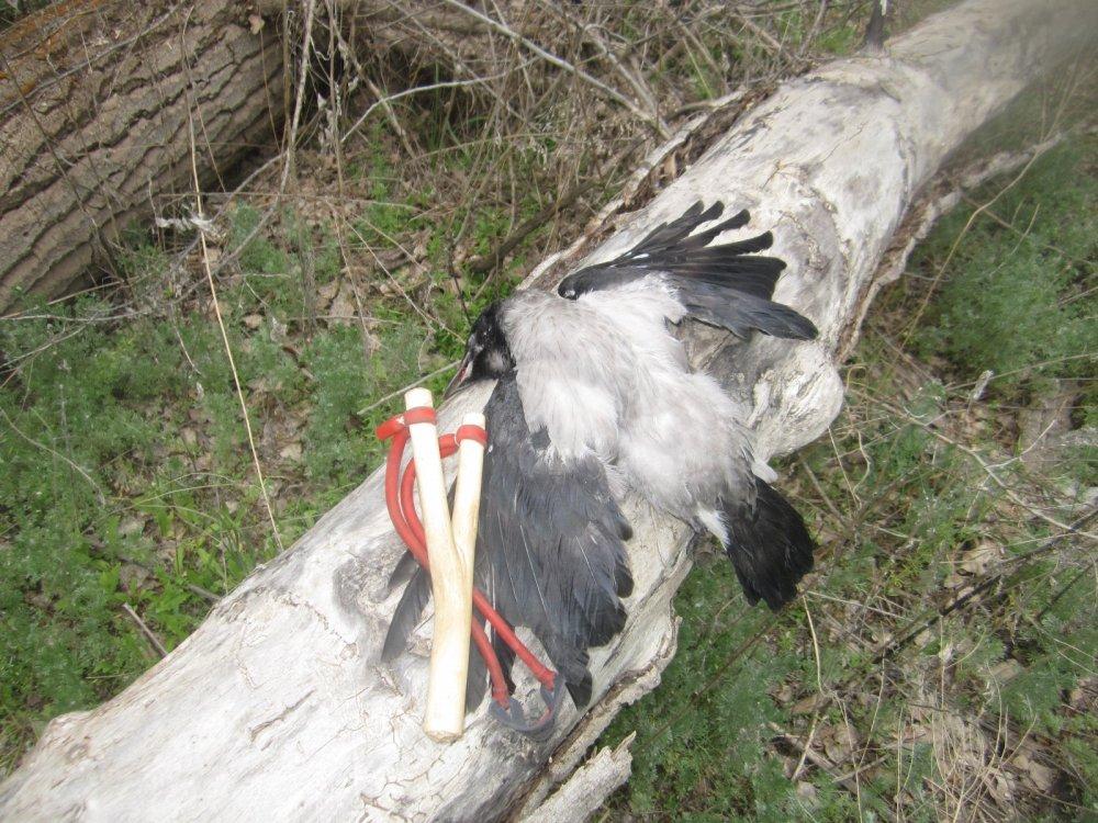 Мой противник - серая ворона