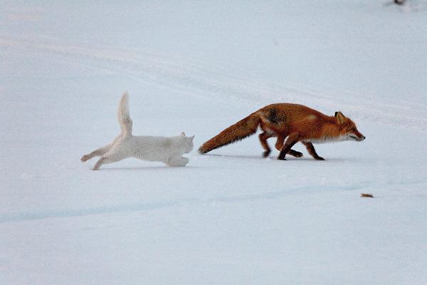 Как кот лису гонял