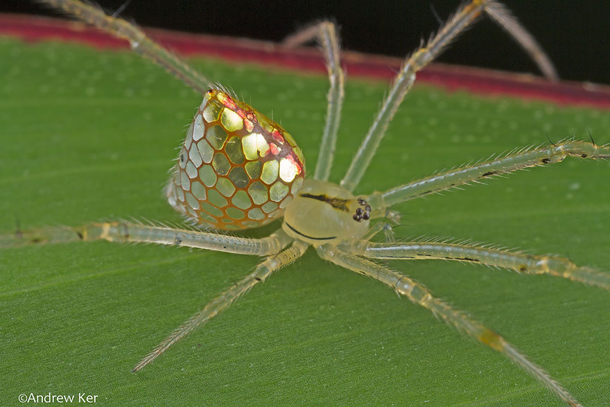 mirror-spider-thwaitesia-argentiopunctata-8