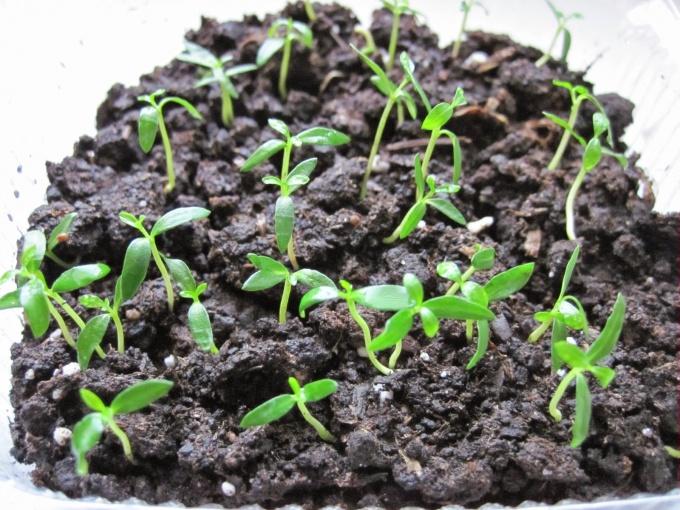 Выращивание фейхоа в открытом грунте 54