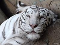 Белые тигры 41