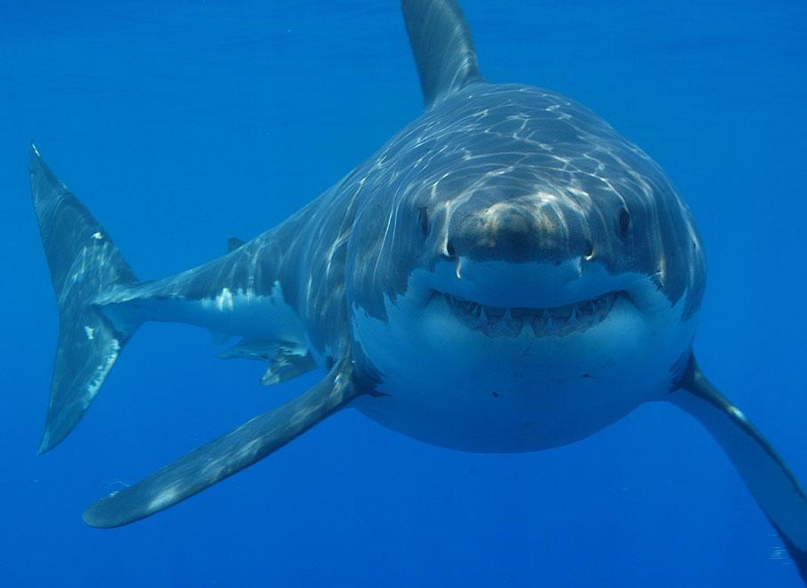 В Австралии очень быстро вымирают акулы