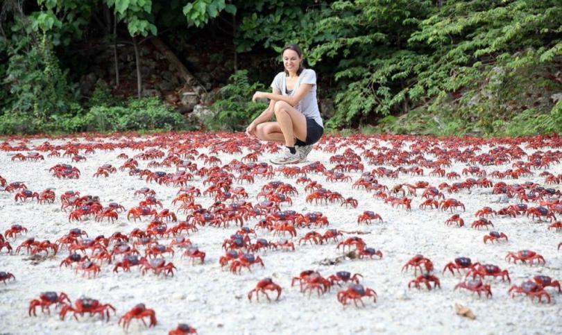 Красные крабы острова Рождества