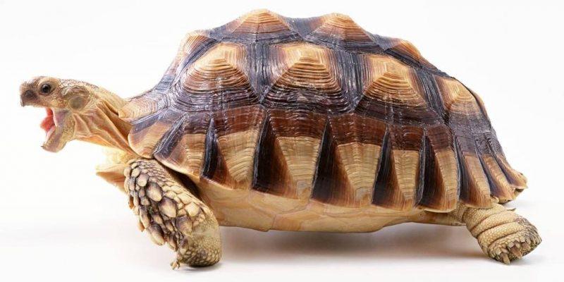 Бедная черепаха отчаянно нуж…