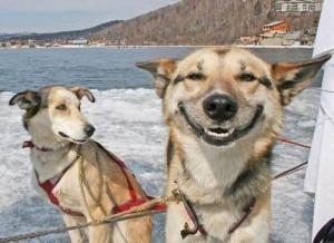 Smeshnyie sobaki 11 300x218 Смешные собаки