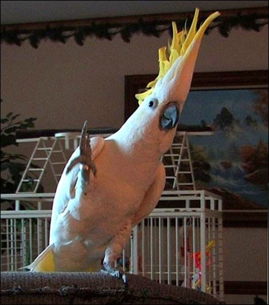 dancing-cockatoo