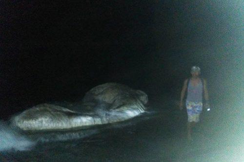 """Загадочное гигантское морское чудовище выброшенное на берег, пахнет, как """"нечто с другой планеты"""""""