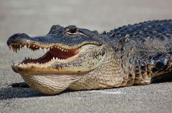 Аллигатор задержал авиарейс во Флориде