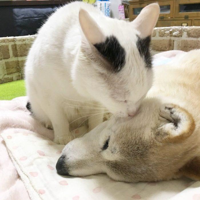 Кот ухаживает за собакой, которая больна старческим слабоумием