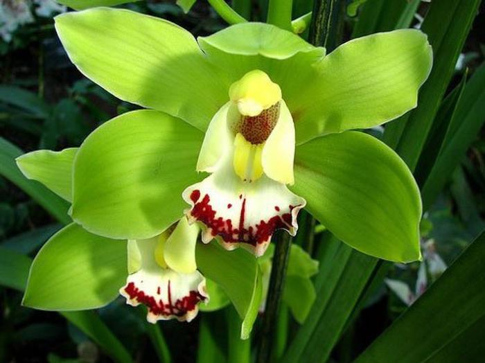 5230261_orhideya21 (700x524, 106Kb)