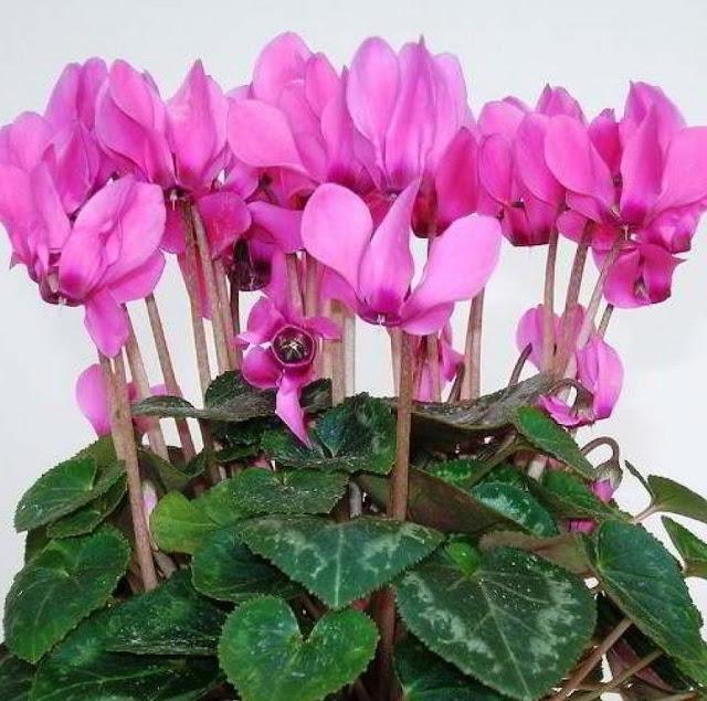 Цветуще комнатные цветы
