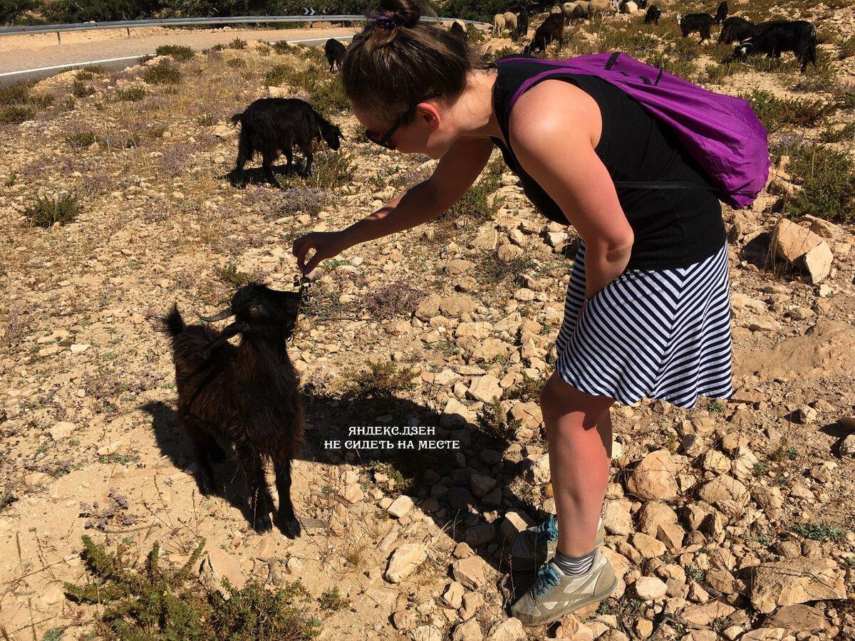 Кормлю коз арганом в Марокко. Очень интересное занятие. Посмотреть можно вдоль океанского побережья