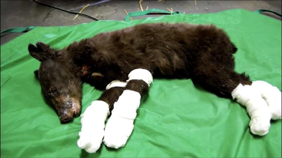 Медвежонка, которого чудом спасли при пожаре, после выздоровления убил охотник
