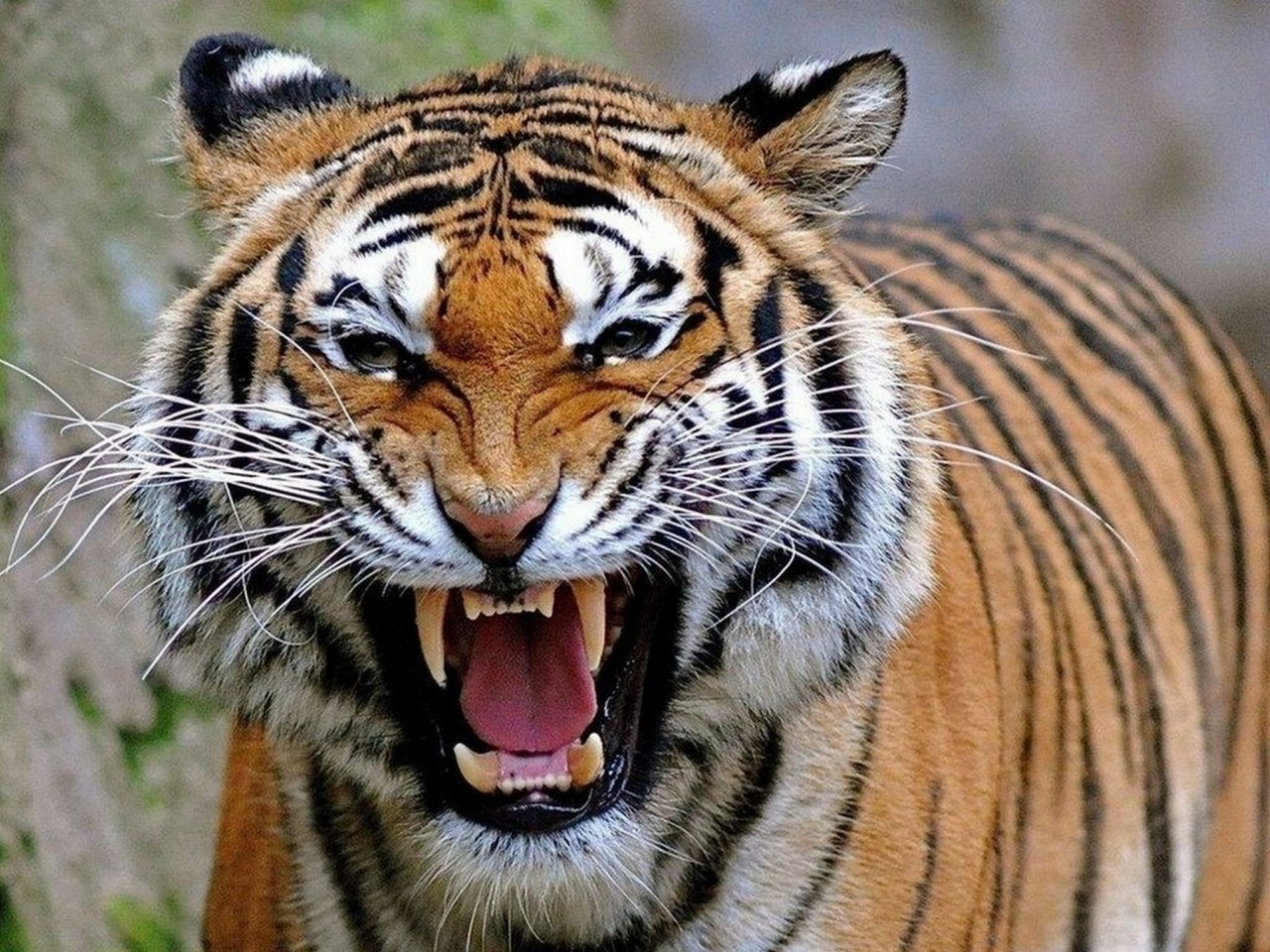 Юрий Селиванов: Однажды тигр…