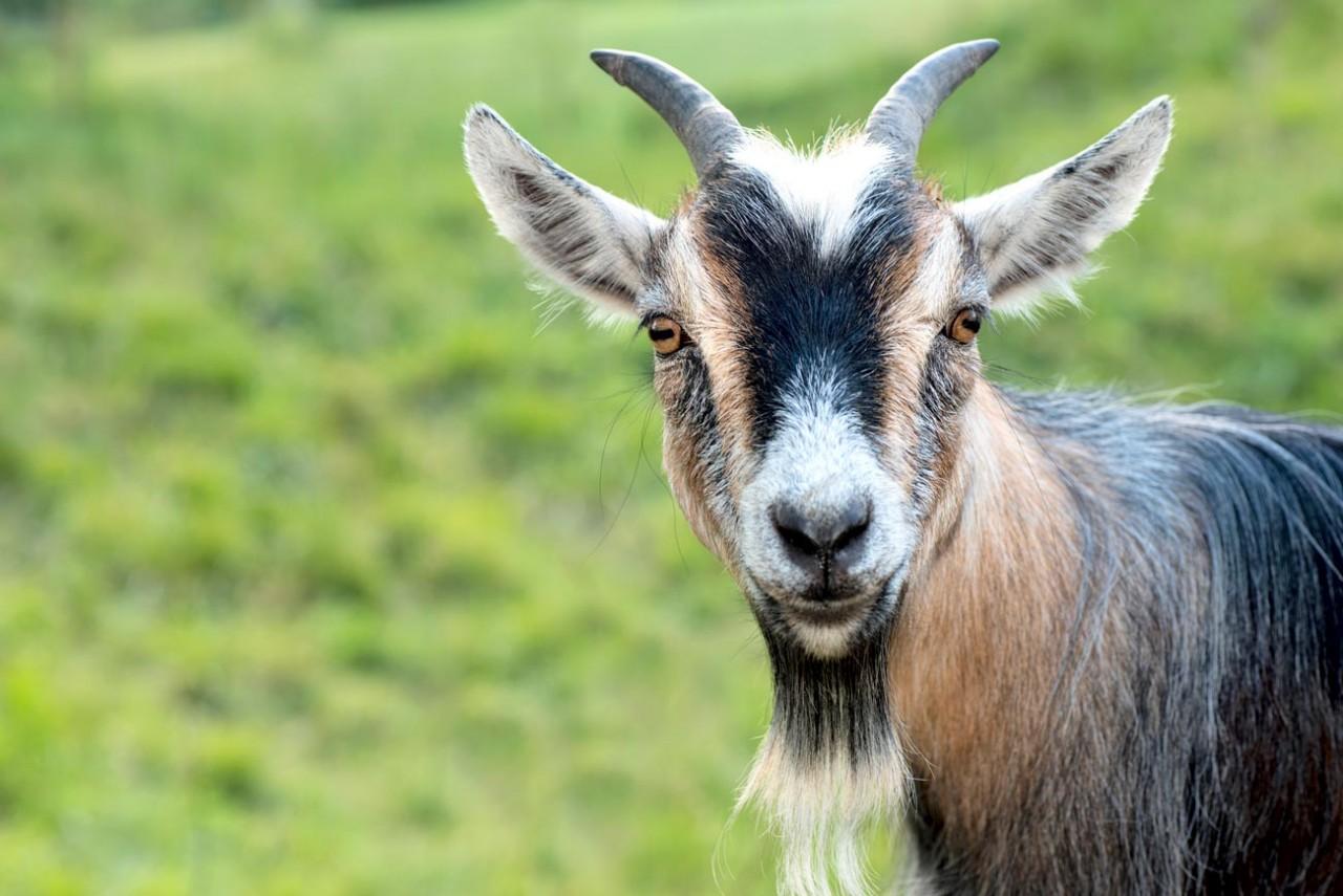 Зачем драть сидорову козу? И…