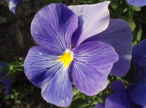Виолы - разноцветные очаровашки