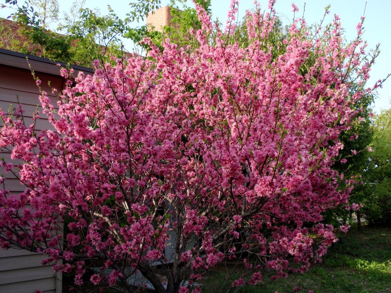 цветущий в начале лета кустарник с крупными белыми и розовыми цветками