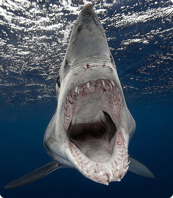 Акула-мако — одна из самых опасных акул для человека