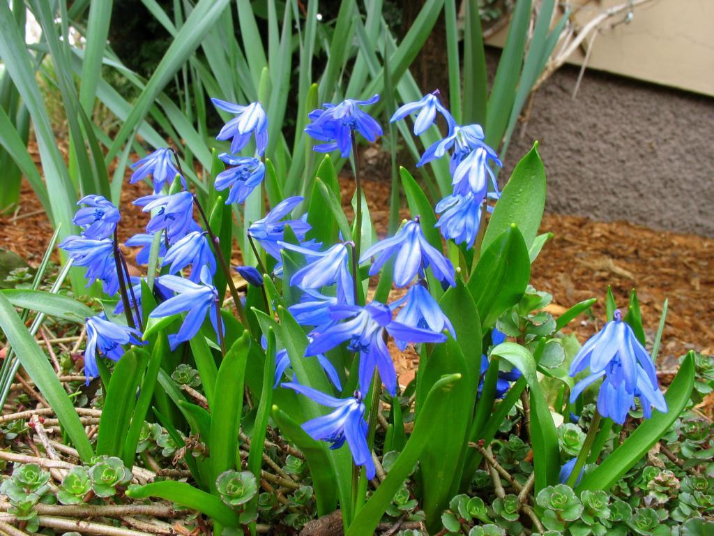 Сцилла цветок